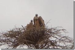 Ugly vultures