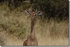 Gerenuk giraffe-necked antelope