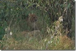 Lions hidden away in the long grass