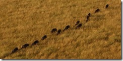 Follow my leader wildebeest style