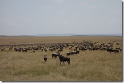 Many wildebeests migrating