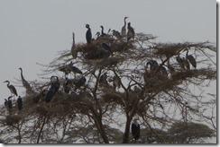 Herons and fisheagle share a tree