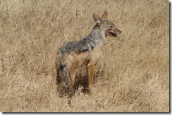 Jackal looking for his next meal