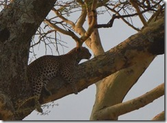 At last a leopard