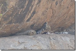 Two leopards - honest!