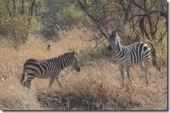 Unsuspecting Zebra