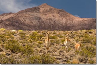 Vicunas watching us watching them