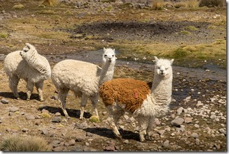I'm a lama, OK?