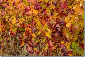 Beautiful Autumn colours in the vines