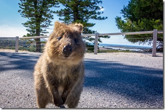 Quokka in your face