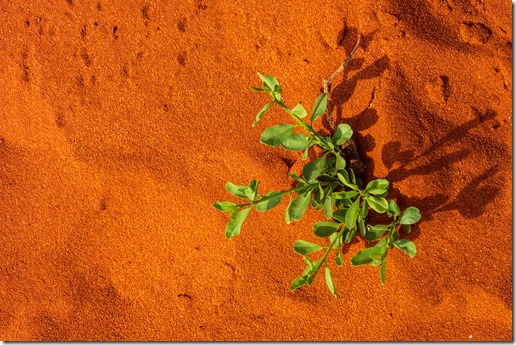 Who'd have thought - new growth in the dry red sand
