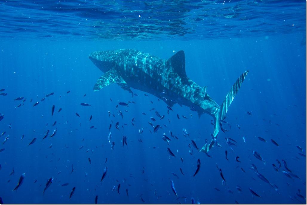 Where does a whale shark swim?