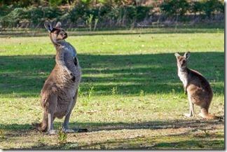 Kangaroos by Pemberton Wine Centre