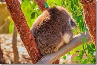 Not the most photogenic aspect of a koala