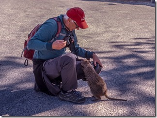 Inquisitive quokka and Dave