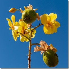 Curious tree - no leaves but bright yellow flowers and bright green fruit