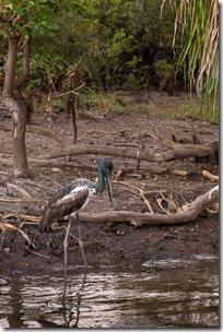 Juvenille Jabiru practising hunting
