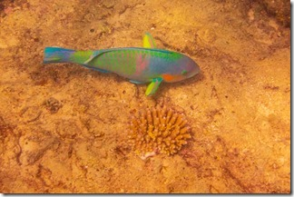 Parrot fish on the move