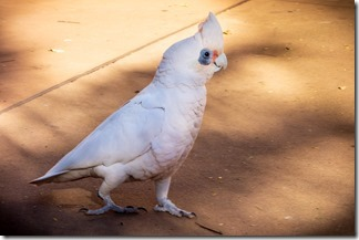A corella - one of the residents of Tom Price