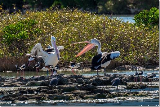Pelican argy-bargy!