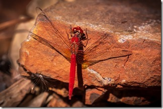 Even the dragonfly in bright red