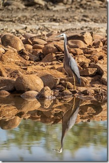Heron enjoying the little remaining water