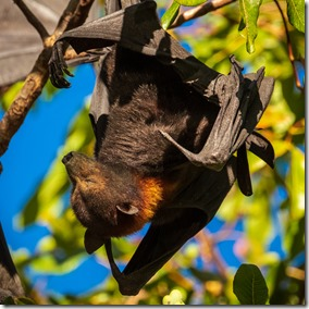 Flying fox doing a poor job hiding from the sun