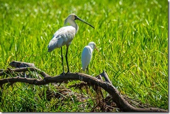 Spoonbill & Egret having a conversation