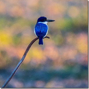This Tiny Kingfisher was just one of the treasures of Kakadu
