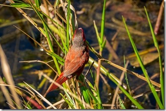 Red finch flitting about at the wetlands