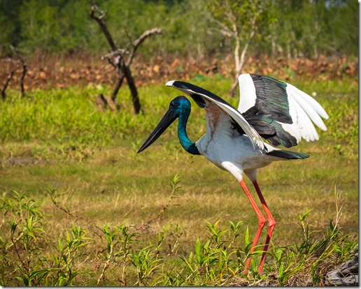 Jabiru about to take off