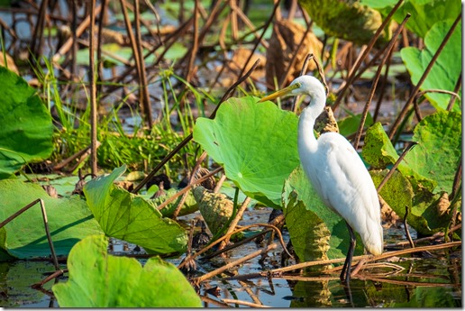 Yes, another egret. But pretty, pretty!